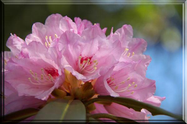 三井寺の石楠花.jpg