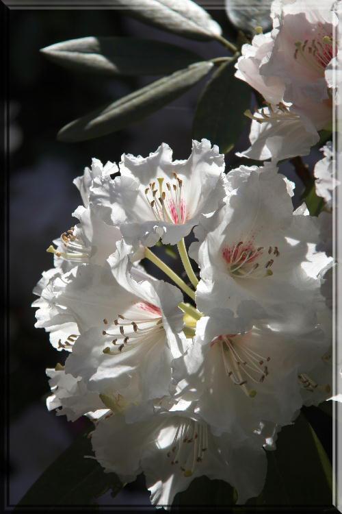 石楠花-3.jpg
