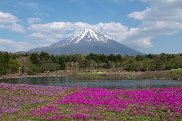 芝桜-1.jpg