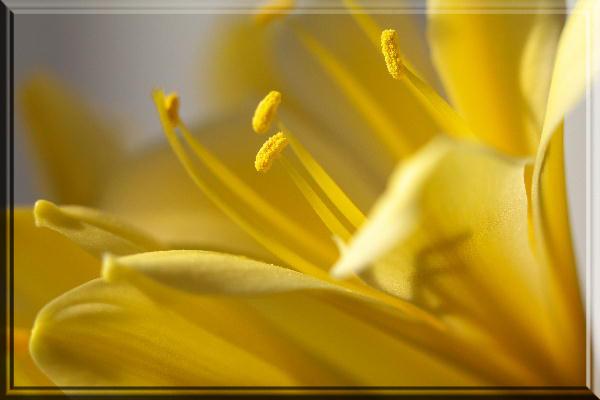 黄色君子蘭.jpg