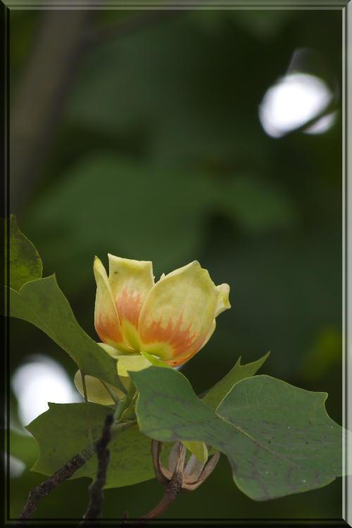 2011 5.30 ユリの木の花.jpg