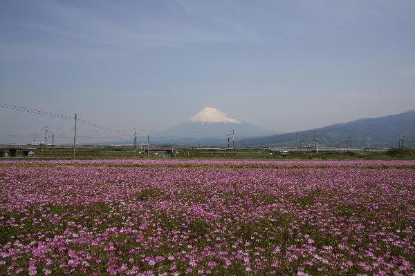 過去画像蓮華と富士山-2009.4.30.jpg