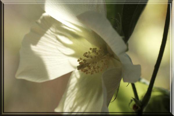 綿の花-1.jpg