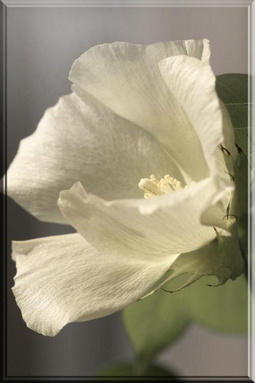 綿の花-2.jpg