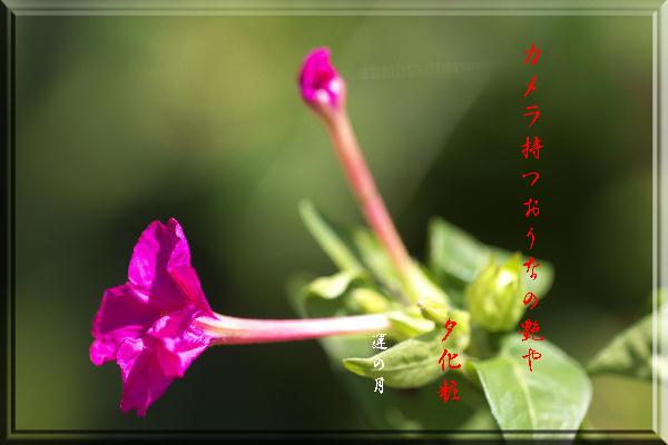 オシロイバナ-33.jpg