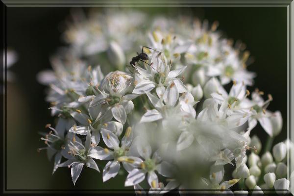 ニラの花.jpg