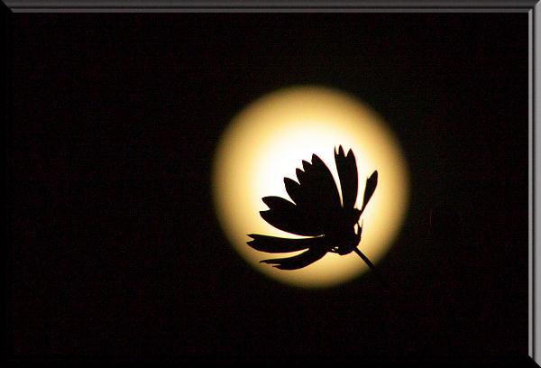 月とコスモス1.jpg