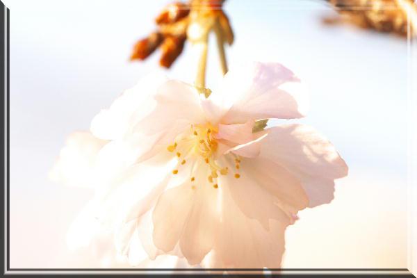 十月桜-2.jpg