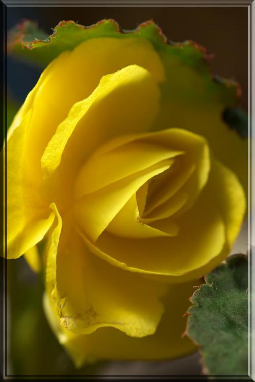 黄色のベコニア.jpg
