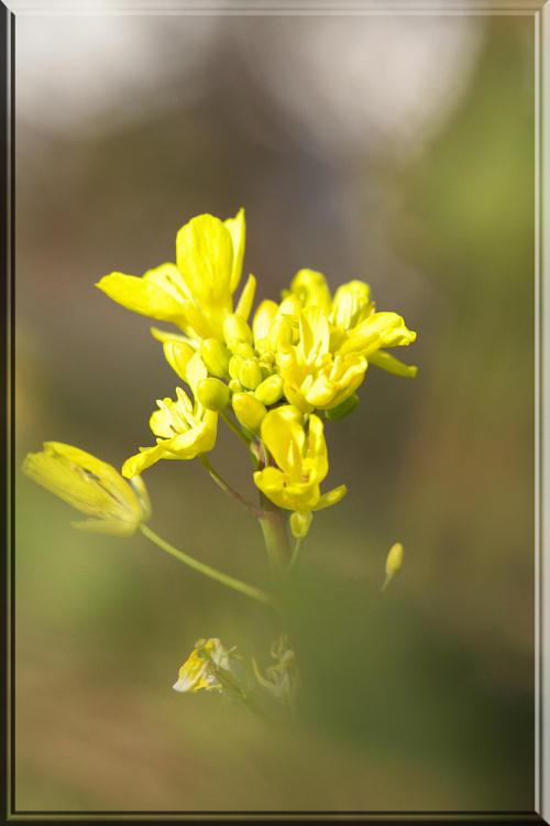 菜の花2.jpg