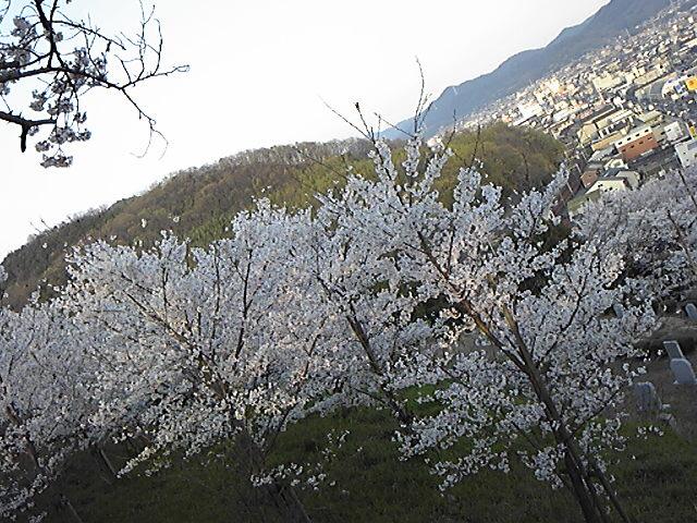 笠岡・城山のさくら1