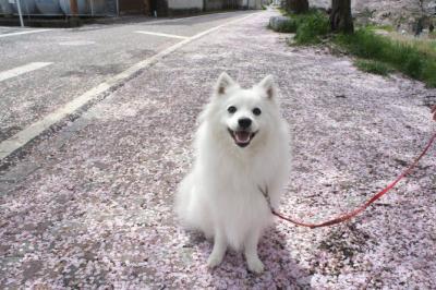 桜の絨毯でしゅ
