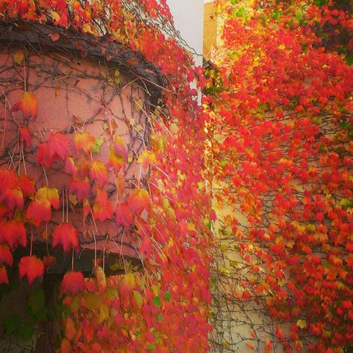 葡萄蔓の紅葉