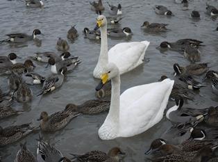 白鳥 111231