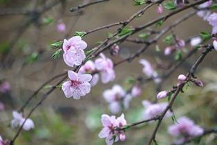 桃の花 120411
