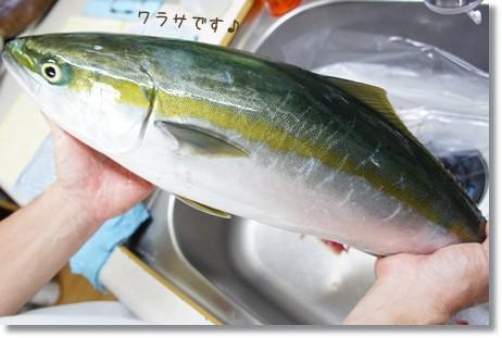 ワラサ 大漁