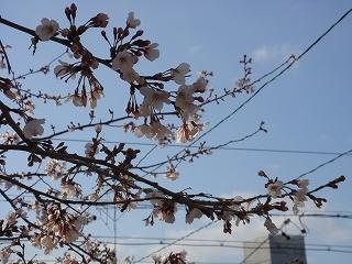 桜_20080401