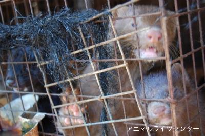 日本国内のミンク農場(アニマルライツセンターより画像転載)