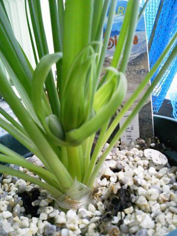 アルブカスピラリス 花芽20121223