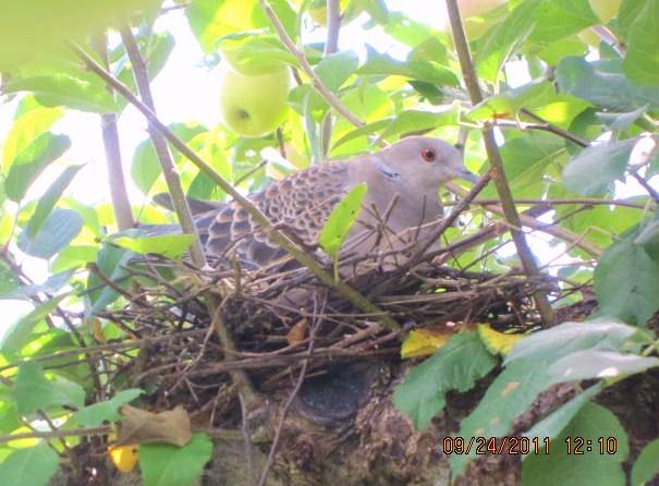 ピース・鳩の営巣