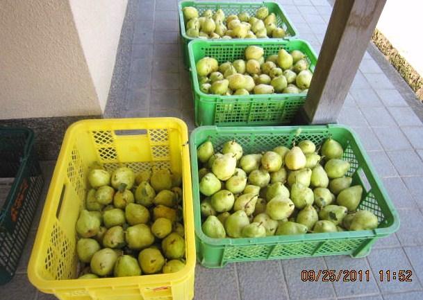 23年西洋梨収穫