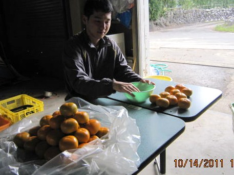 柿の脱渋作業