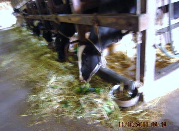 牛さんにキャベツをプレゼント
