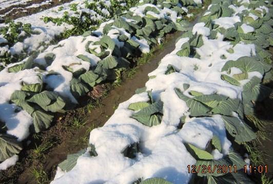 雪を被ったキャベツ