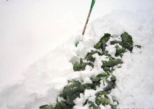 キャベツ雪掘り