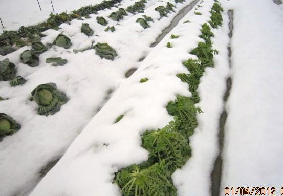 雪の下にあった野菜(1・4)