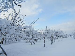 りんご園は雪の花