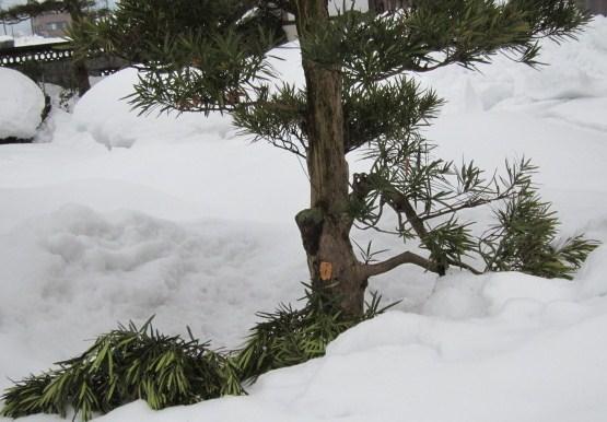 羅漢樹雪折れ