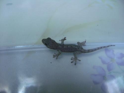 ニホンヤモリの赤ちゃん 約4cm