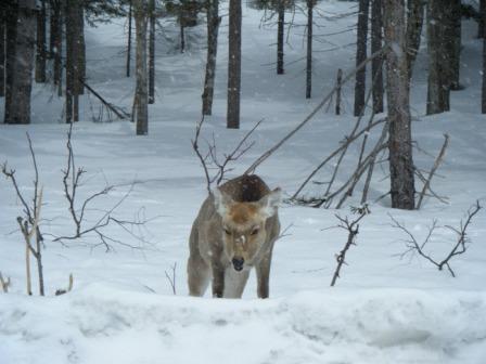 阿寒で見た鹿.JPG