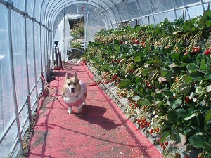 イチゴに囲まれて幸せだわん