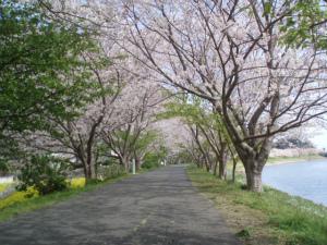 モモ家地元の桜のトンネル