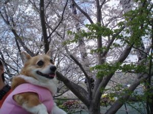 最高の桜だね