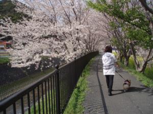 桜と母と息子の背中