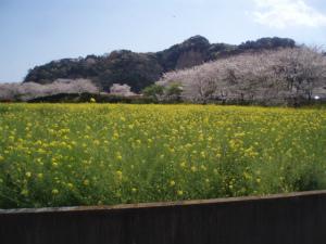桜と菜の花のコンビネーション