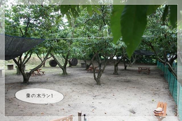 マロンの樹05