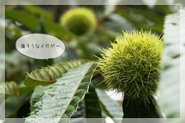 マロンの樹04