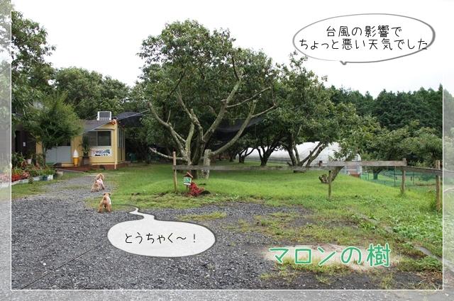 マロンの樹02
