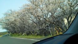 船小屋の桜