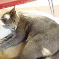 猫ベッドで眠るミントくん
