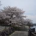 湖の周りは桜でいっぱい