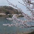 湖畔から桜を臨む