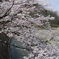川辺の桜~アナザーサイド~