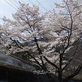堂々と咲く桜