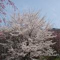 道路わきに咲く桜