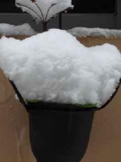 プランターに積もる雪